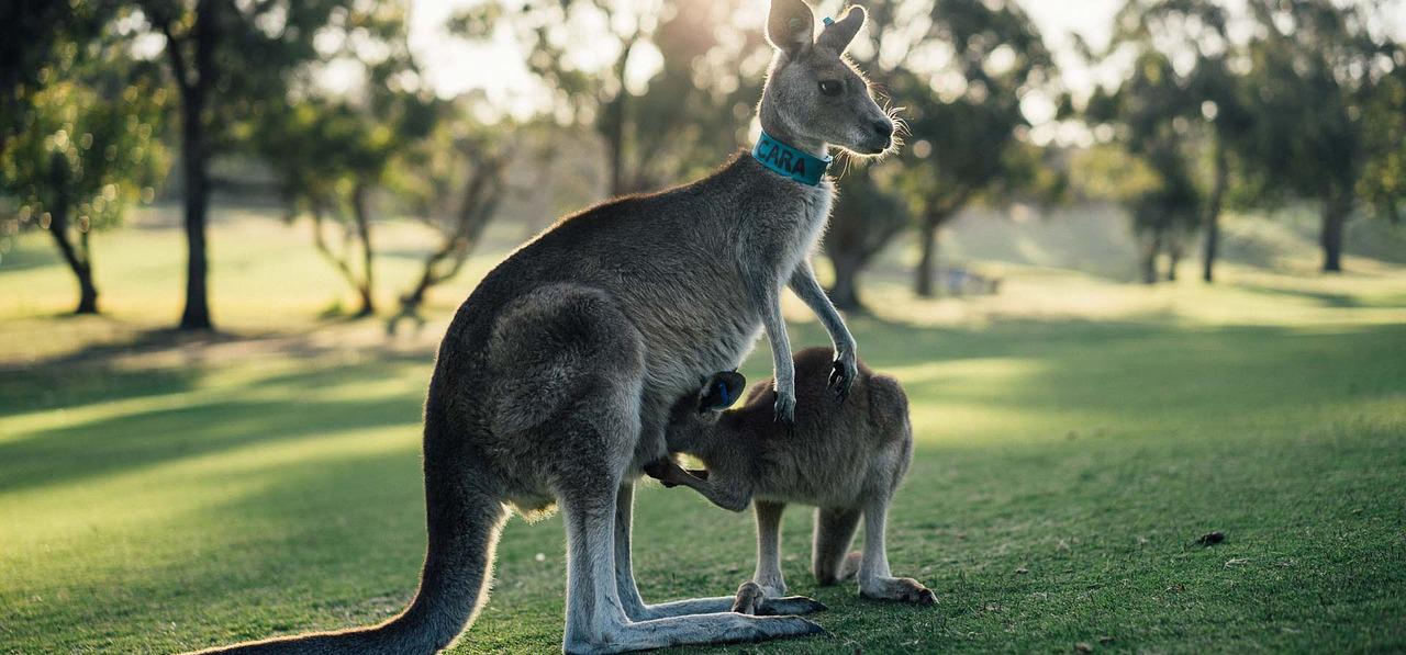 kangourou et bébé kangourou australie - source pixabay